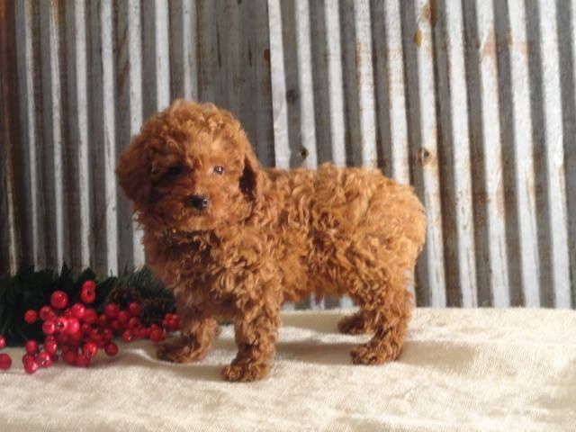 Buy Teacup Poodle Breeders That Is A Very Popular Small To