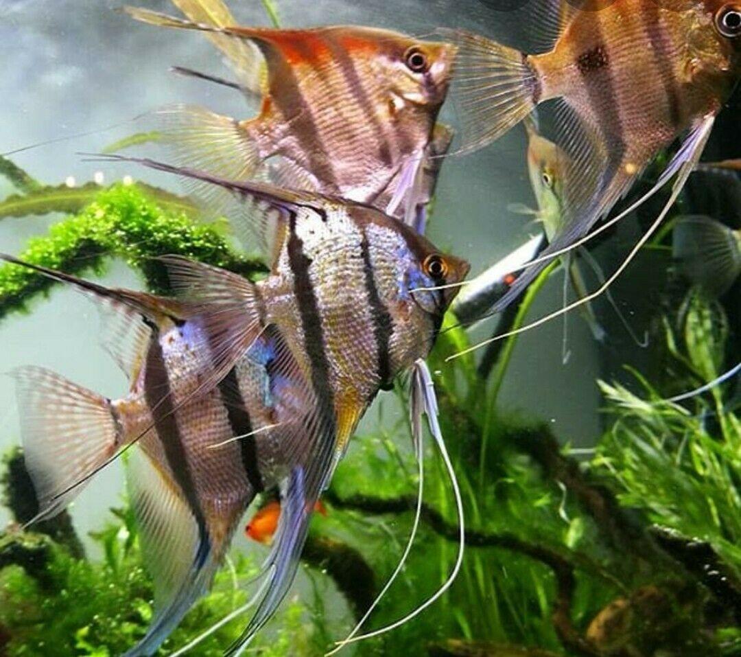 Pin On Angelfish