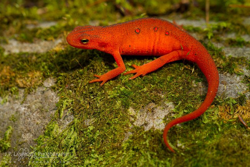 Red Eft Newt Reptiles And Amphibians Amphibians