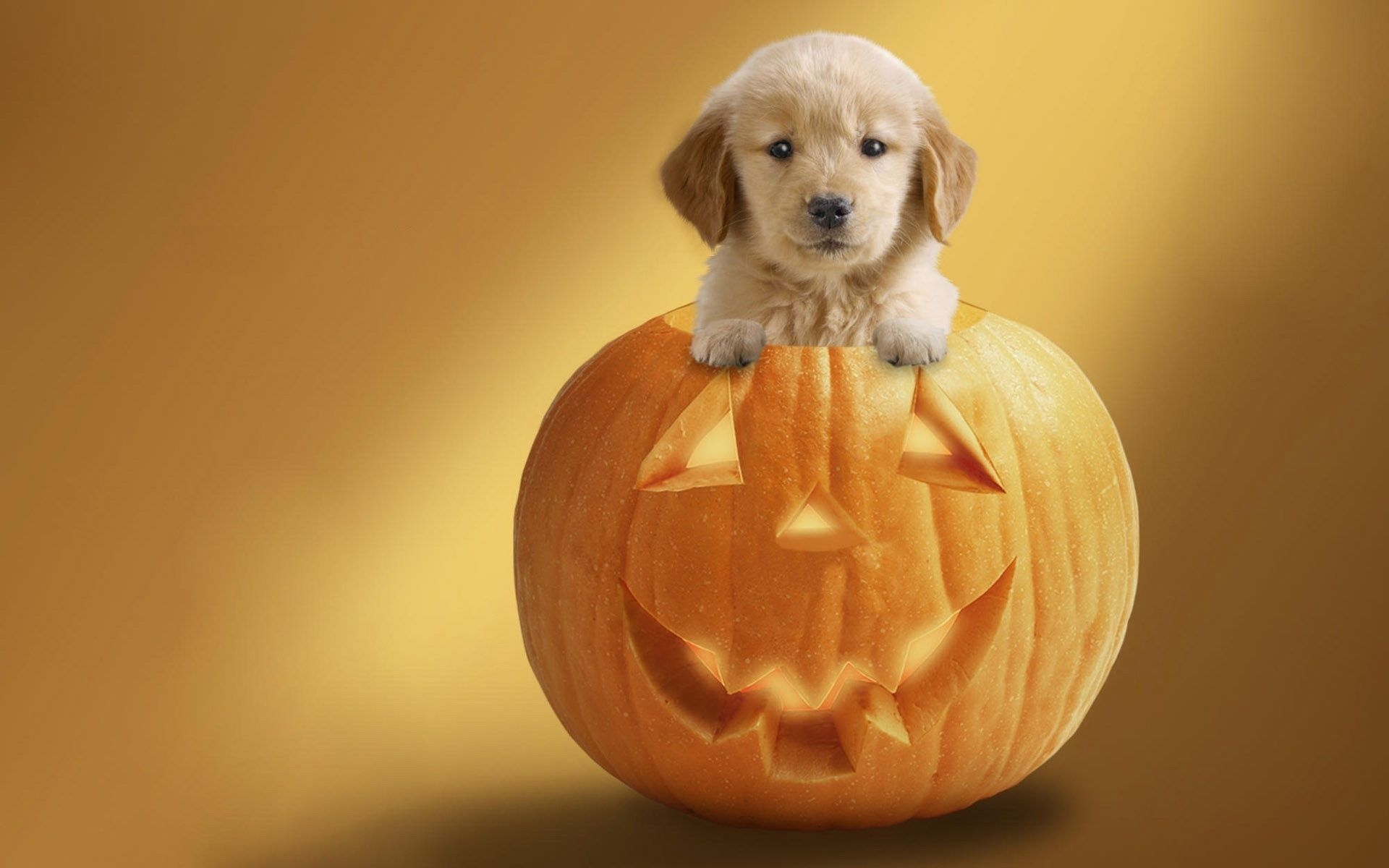 Dog in pumpkin wallpapers and images wallpapers
