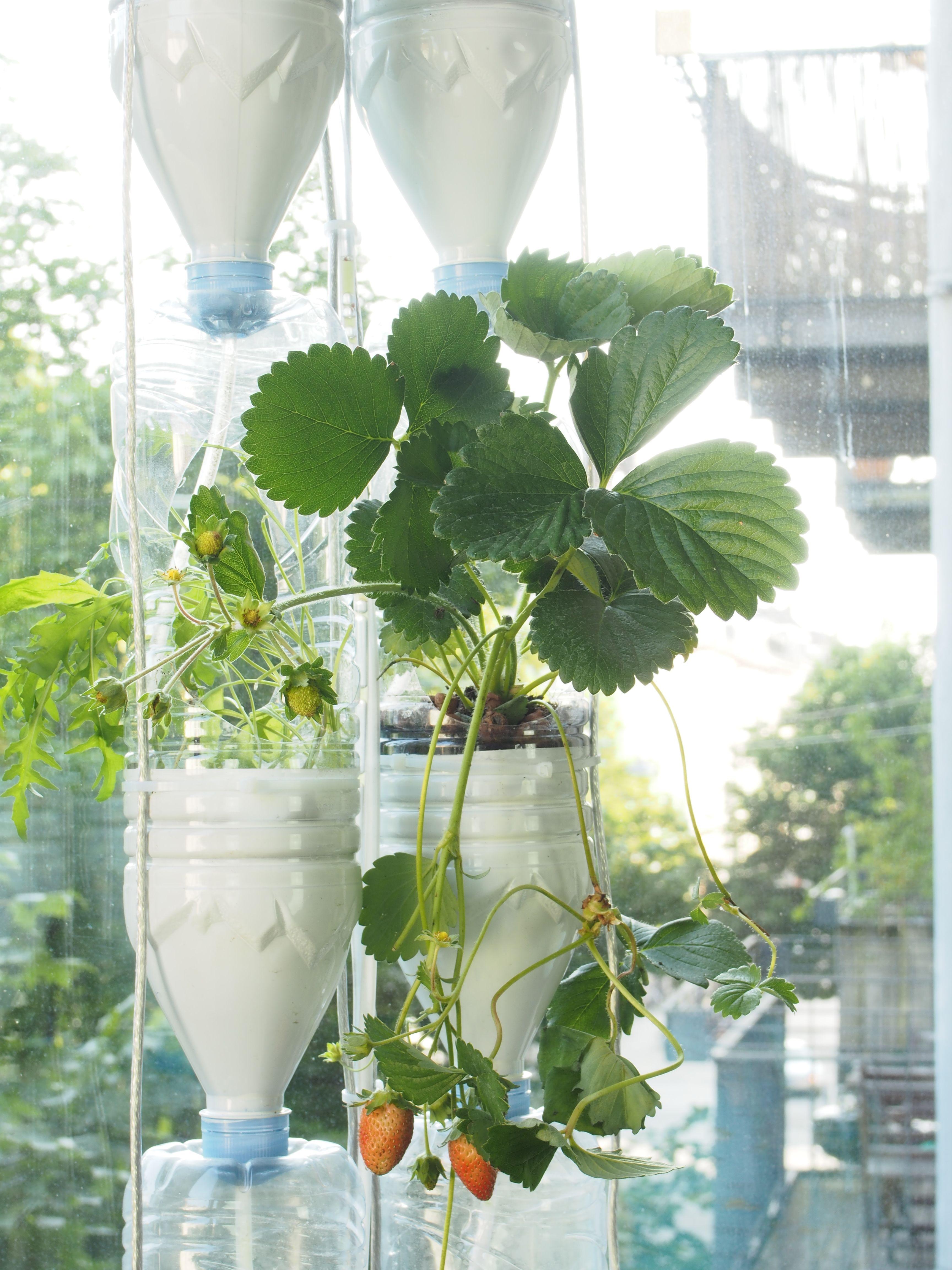 Mühelos lässt sich aus einer Pet-Flasche ein Minigarten für den ...