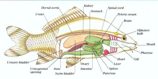 fish anatomy  anatomy and fish on pinterest