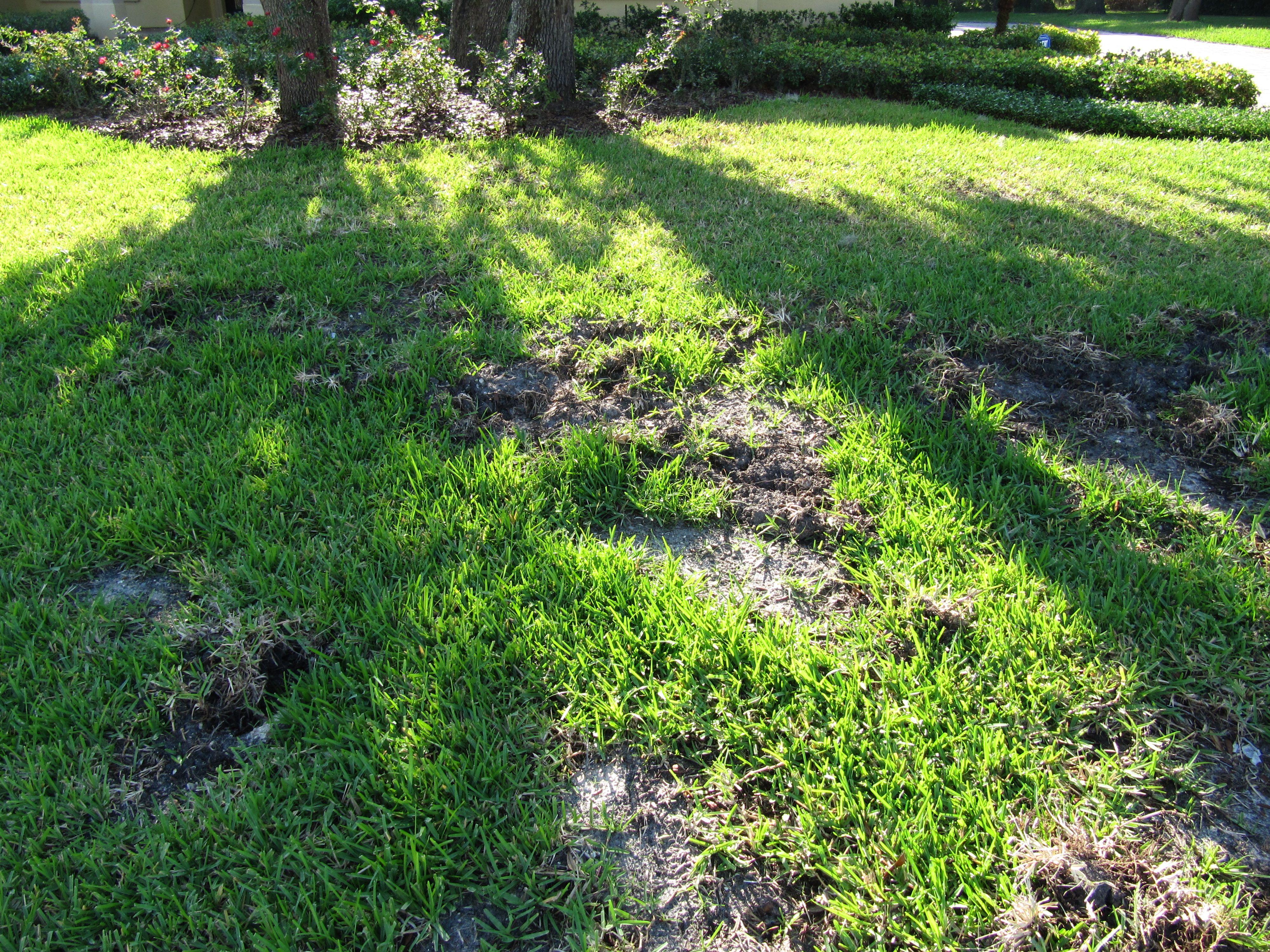 Wild pig damage in St Augustine grass lawn.