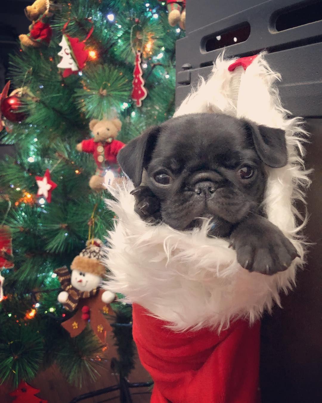 Pin By Lisa Guedry On Pugs Baby Pugs Cute Pugs Pug Christmas