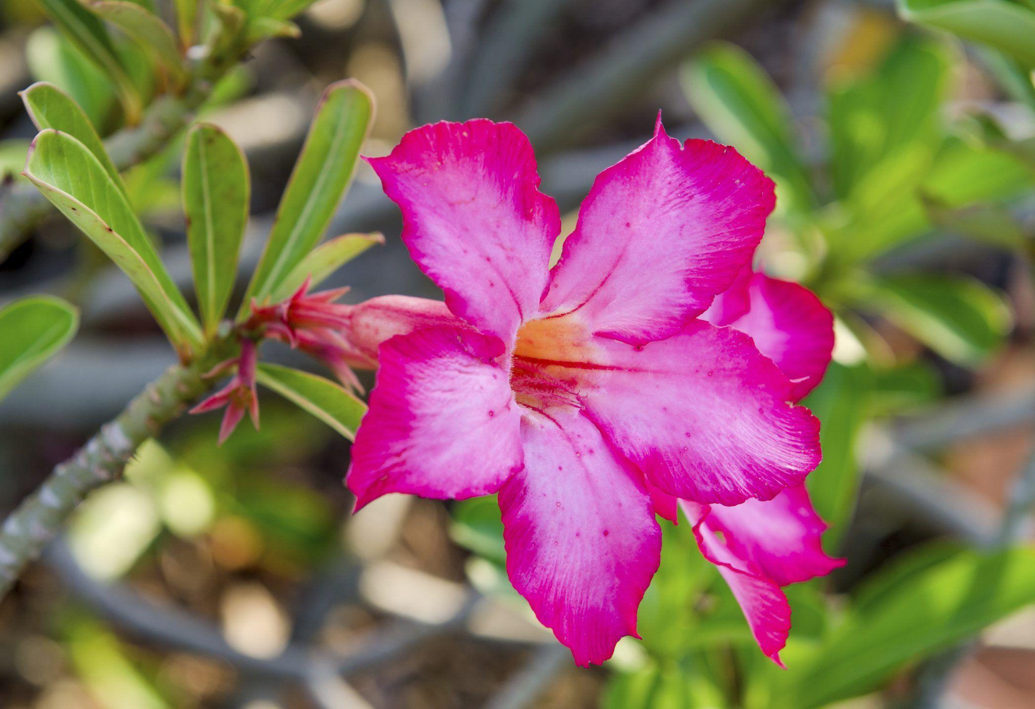 How to grow desert roses from seeds desert rose desert
