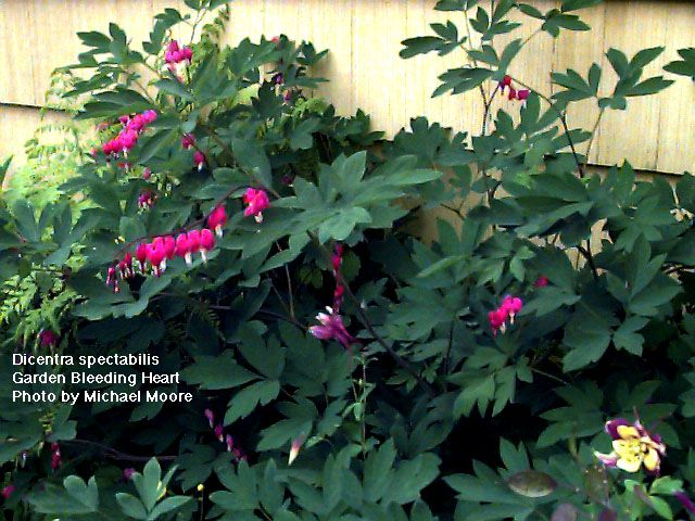 Common Name Bleeding Heart Hardiness Zone 3 8 S 3 9 W Height 30 Deer Resistant Yes Exposure Part Shade With Images Deer Resistant Plants Plants Shade Garden