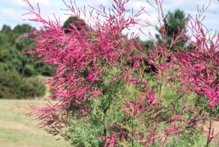 Summer Glow Tamarisk Tamarix Ramosissima This Small Tree Is Filled With Green Feathery Foliage In Late Summer And Early Au Plants Tamarix Ramosissima Shrubs