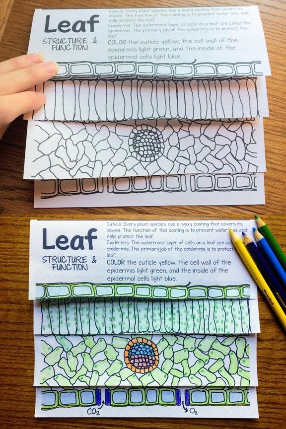 Read and color with your students as you discover the structure and function of each layer of a leaf.