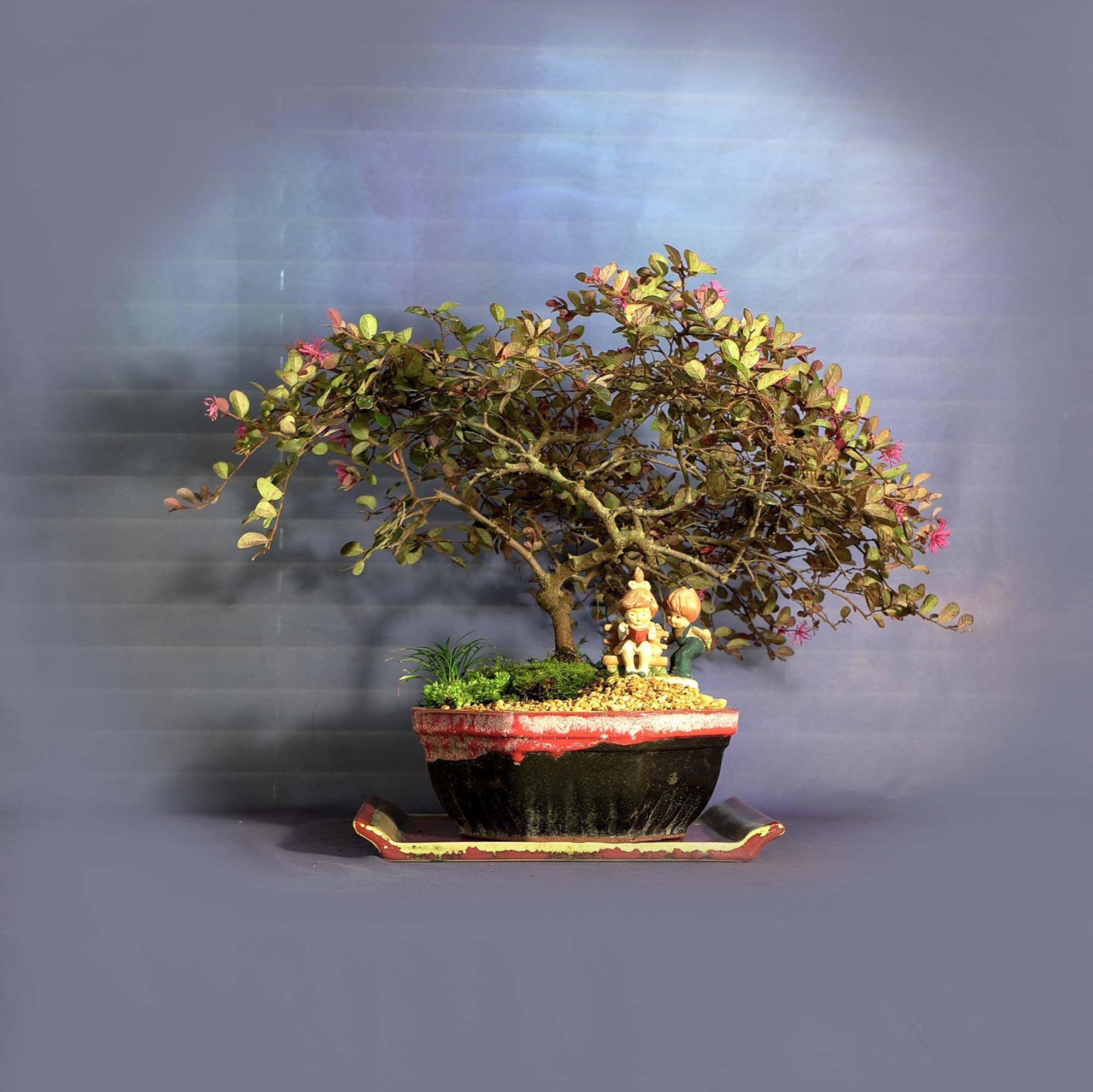 Loropetalum Bonsai Tree Tropical Bloom Collection From Livebonsaitree By Livebonsaitree On Etsy In 2020 Bonsai Tree Bonsai Nursery Pre Bonsai