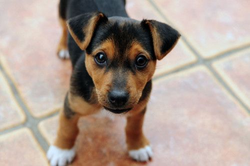 Pin By Sha Lai On Cuties Baby Dogs Jack Russell Puppies Jack Russell Terrier