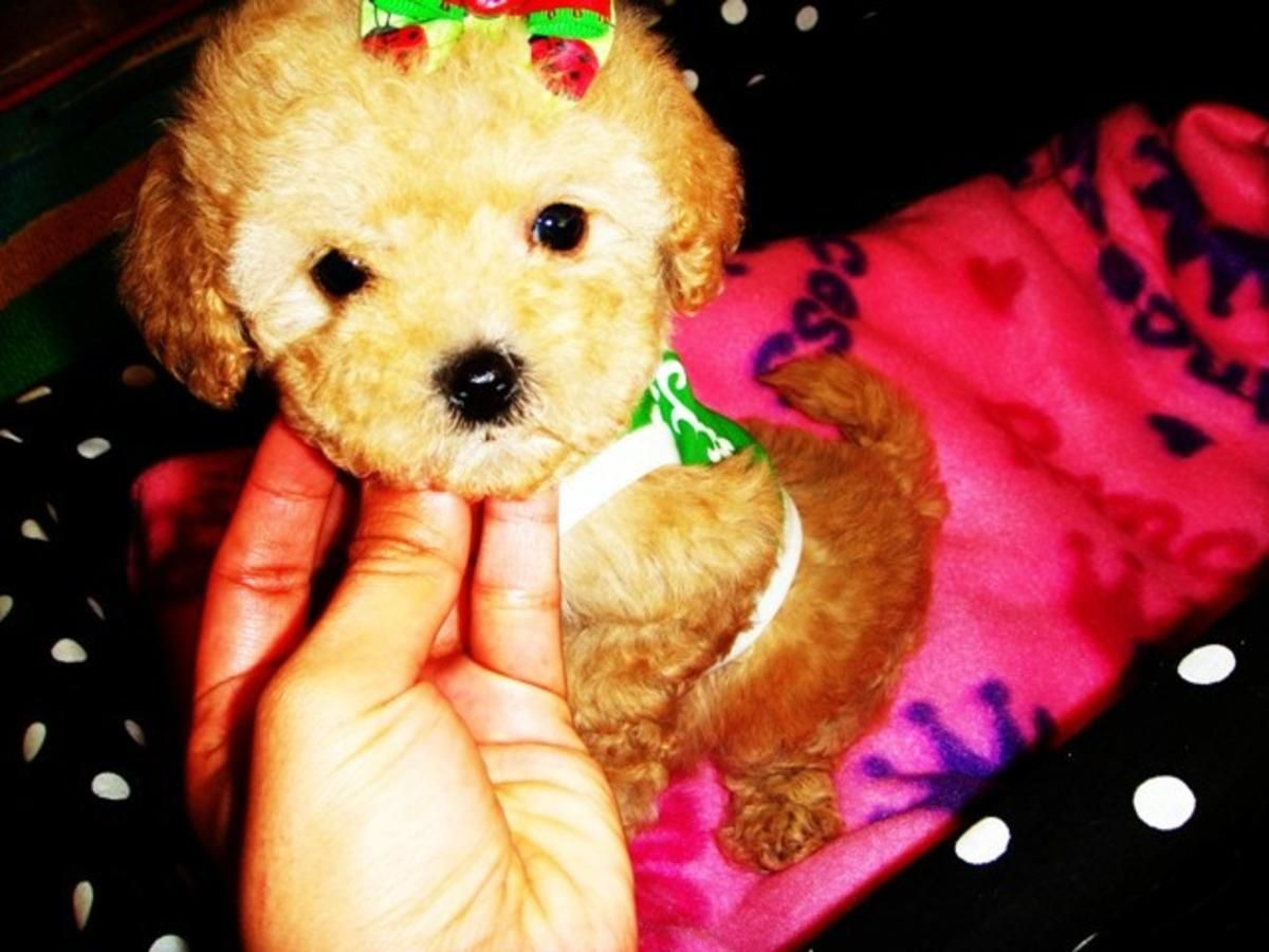 Tiny & Precious Maltipoo Puppies in Houston, Texas