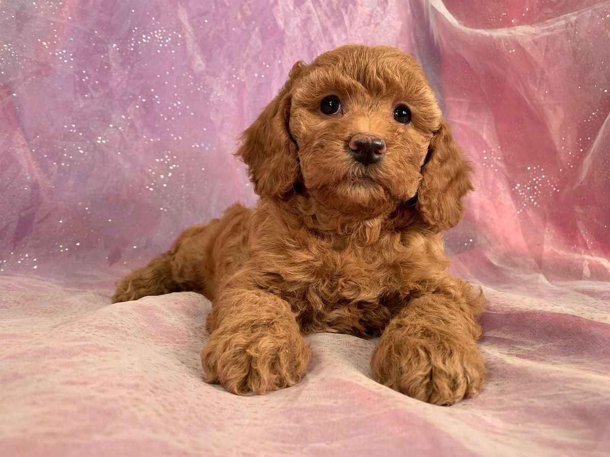 Pin By Nancy Austin On Cockapoo Puppies In 2020 Cockapoo Puppies For Sale Cockapoo Puppies Red Cockapoo