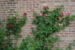 How to Care for a Joseph's Coat Climbing Rose | eHow