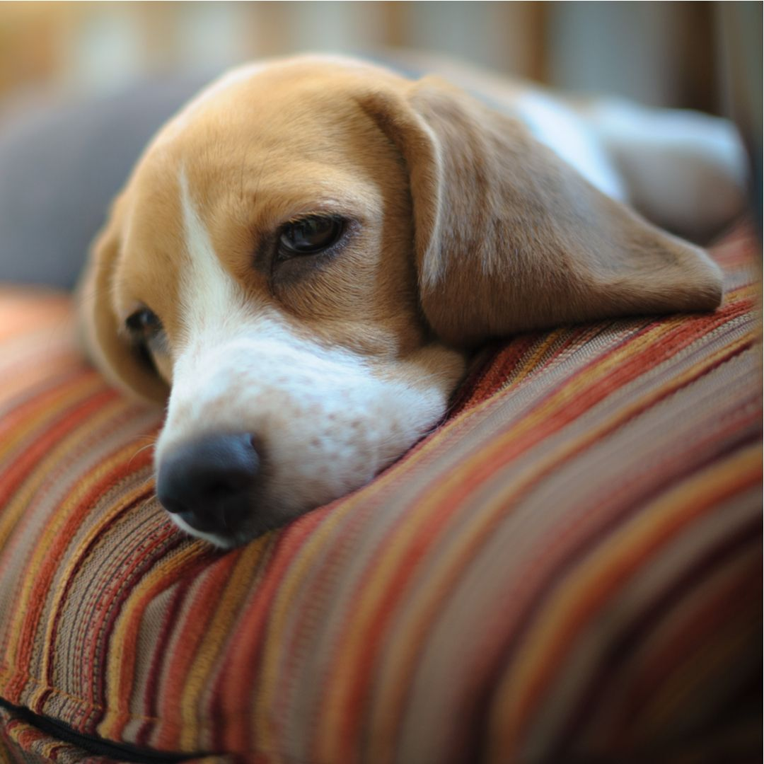 Young Beagle Sleeping On Pillow Dog Quotes Dogs Sleeping Puppies