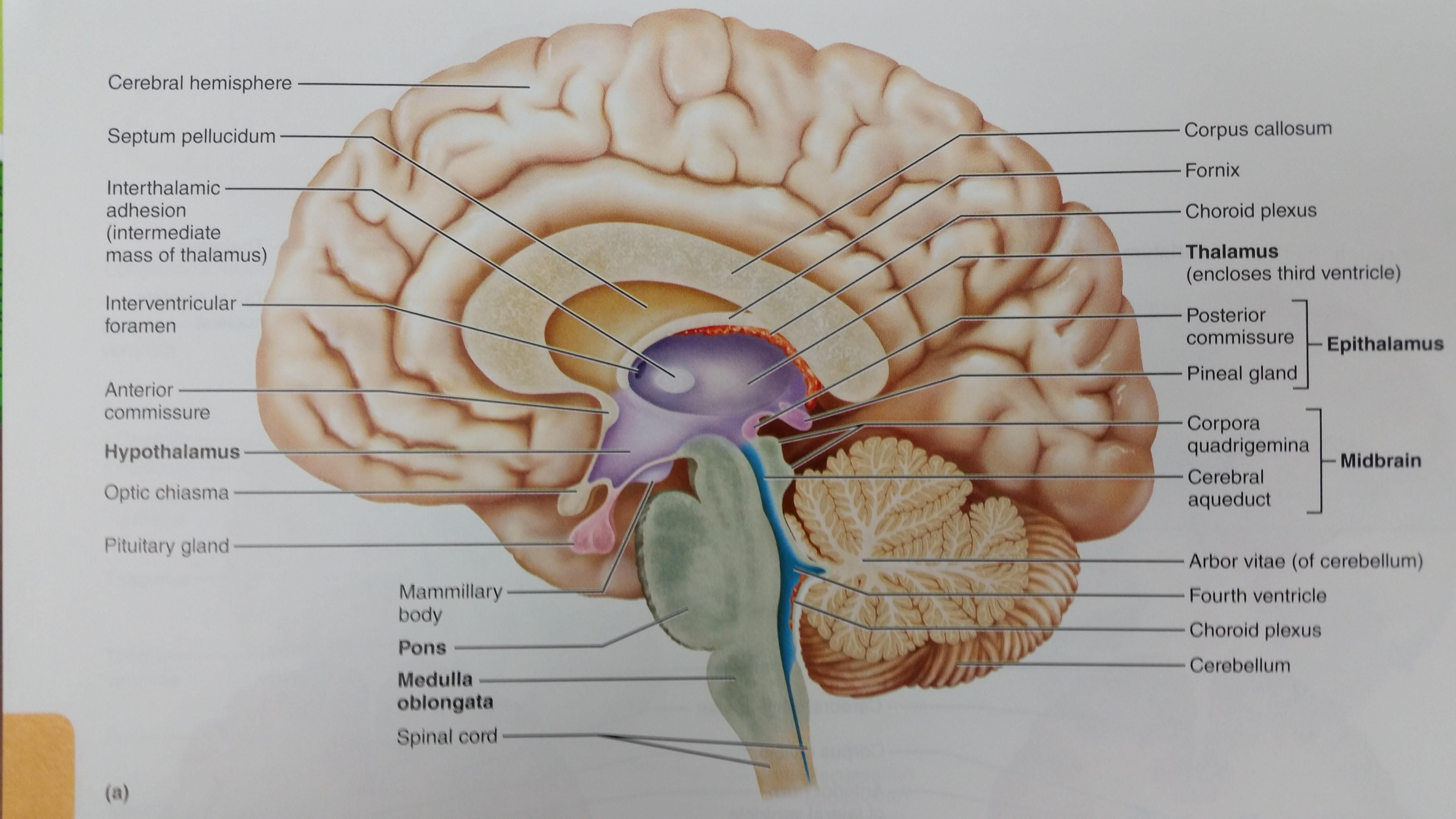 Midsagittal Section Of The Human Brain Chapter 12: The ...