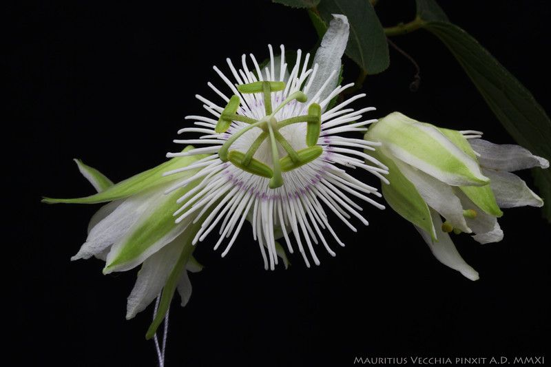 Pin By Michelle H On Passiflora M N Passion Flower Plants Flowers