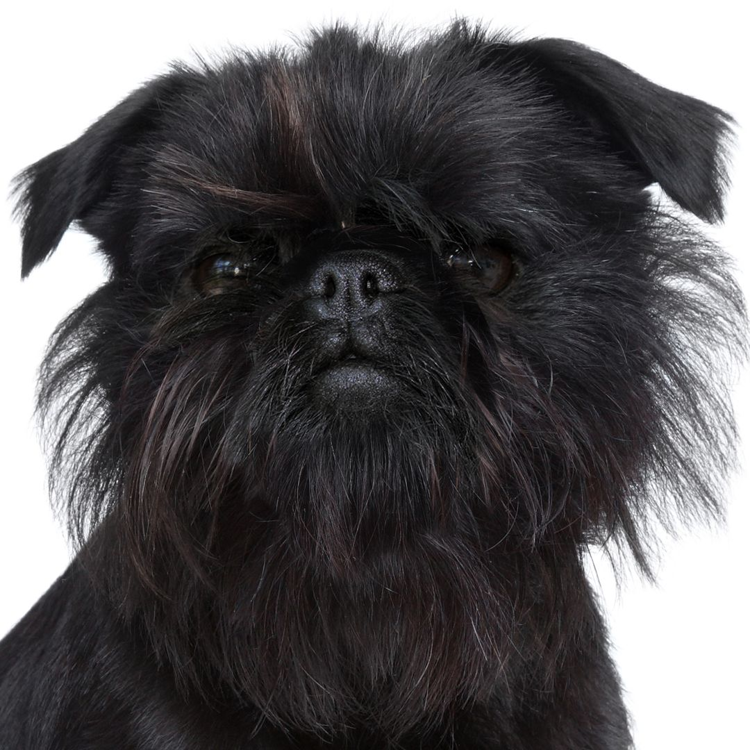Affenpinscher Means Monkey Like Terrier In German One Source Said This Was Not Because They Looked Like Monkeys Bu Affenpinscher Affenpinscher Dog Dog Skin