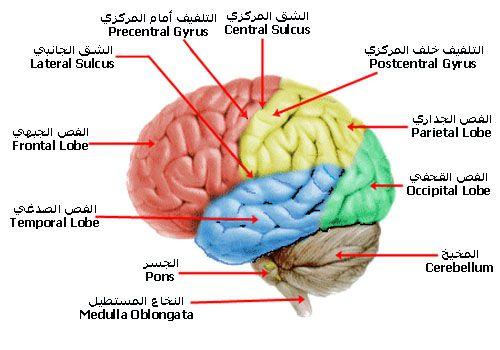الـــجـــهـــاز الـــعـــصـــبـــي Nervous System شرح بالصور اكاديمية علم النفس Frontal Lobe Occipital Lobe Occipital