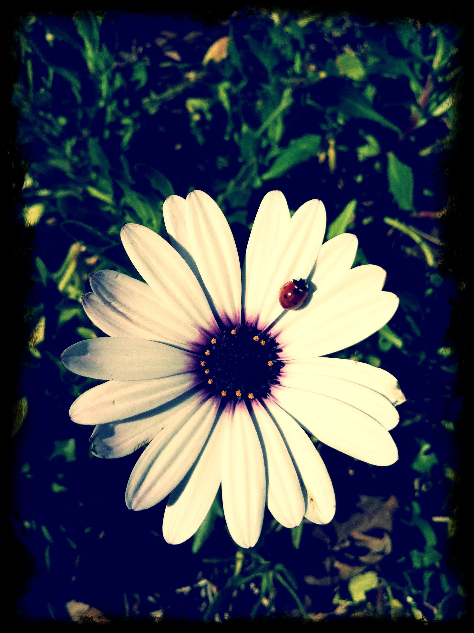 I was walking and saw a lady bug sunbathing on a flower so I took a picture of it.