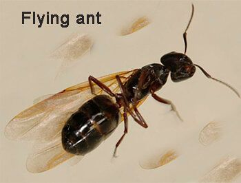 images what do flying ant look like   Pest Control ...