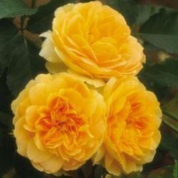 Rosa 'Molineux'