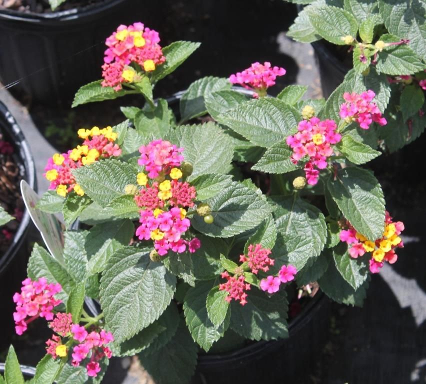 Try Dwarf Lantana For A Summer And Fall Blooming Perennial Lantana Backyard Plants Perennials