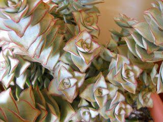 planta crassula perforata