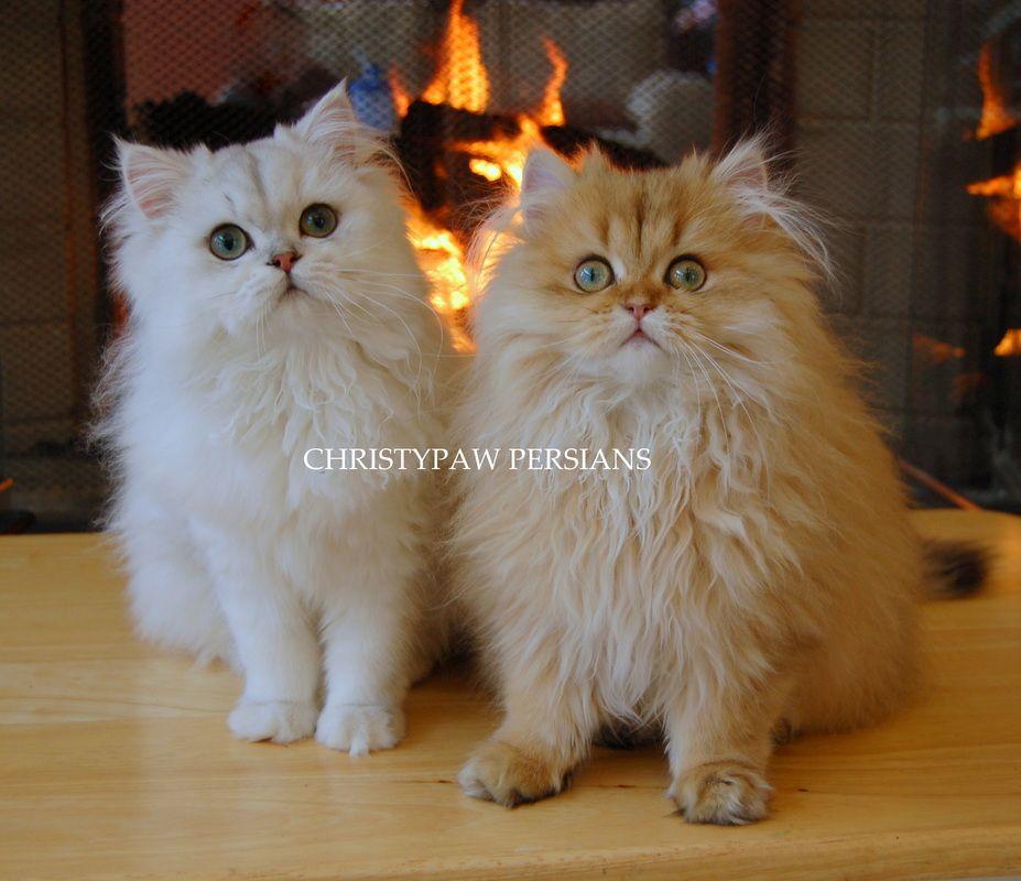 Dollface Persian Breeder Persian Cat Doll Face Teacup Persian Cats Persian Cat