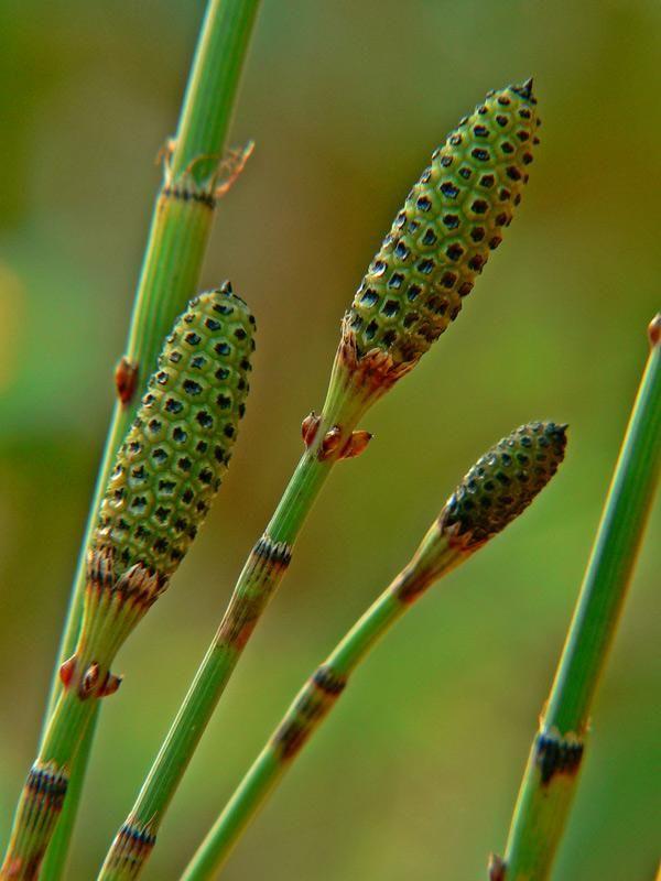 Propiedades De La Cola De Caballo Aromatic Plant Herbs Herbalism