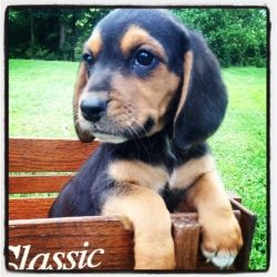 Brumley Pup 5 Is An Adoptable Basset Hound Dog In Louisville Ky