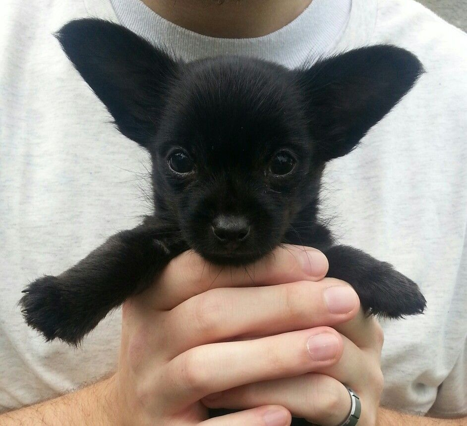 Black Chorkie Chihuahua Yorkie Puppy So Cute Animals Love