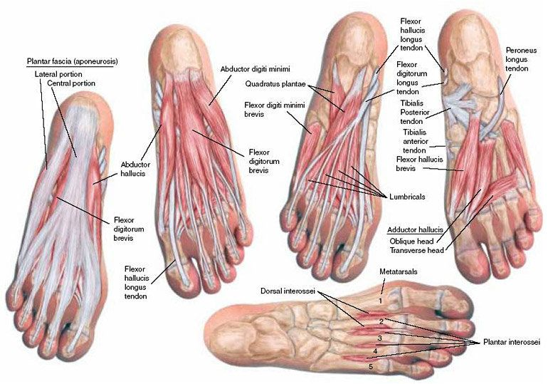 Plantar Foot Anatomy Fa10 Pinterest Foot Anatomy And