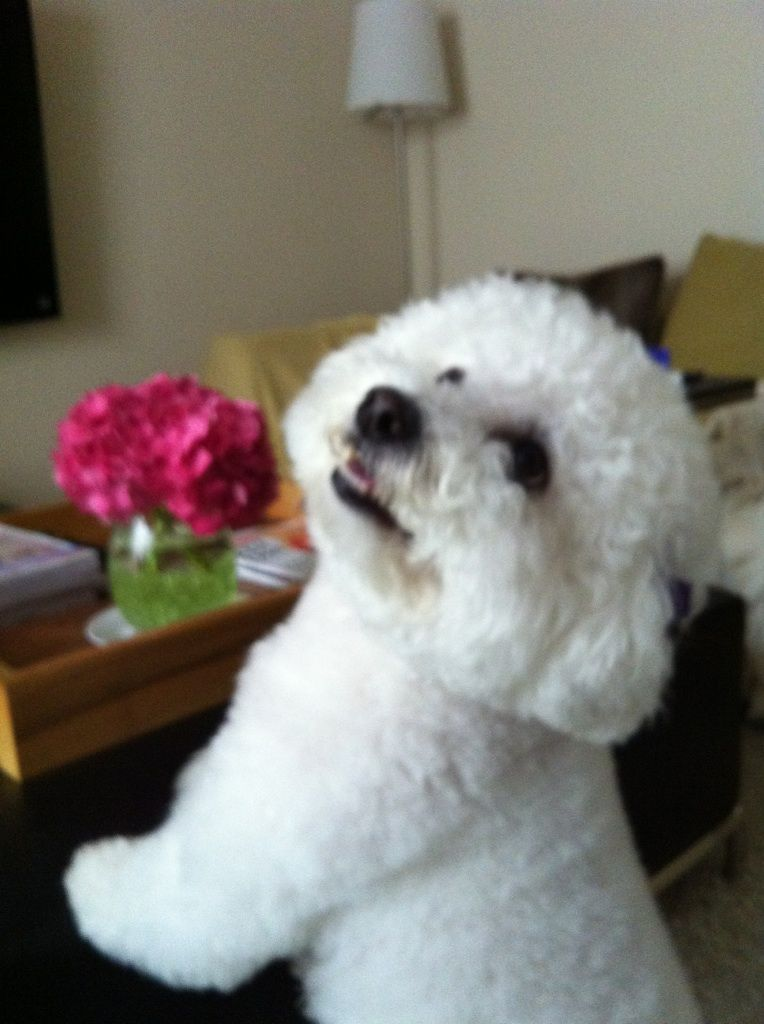 Sweet Bichon With Images Bichon Frise Puppy Bichon Frise Dogs