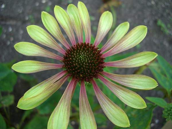Echinacea Green Envy Uspp22739 Extraordinary Jade Colored Daisy Like