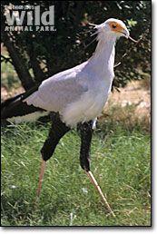 Secretary Bird- the largest bird of prey.