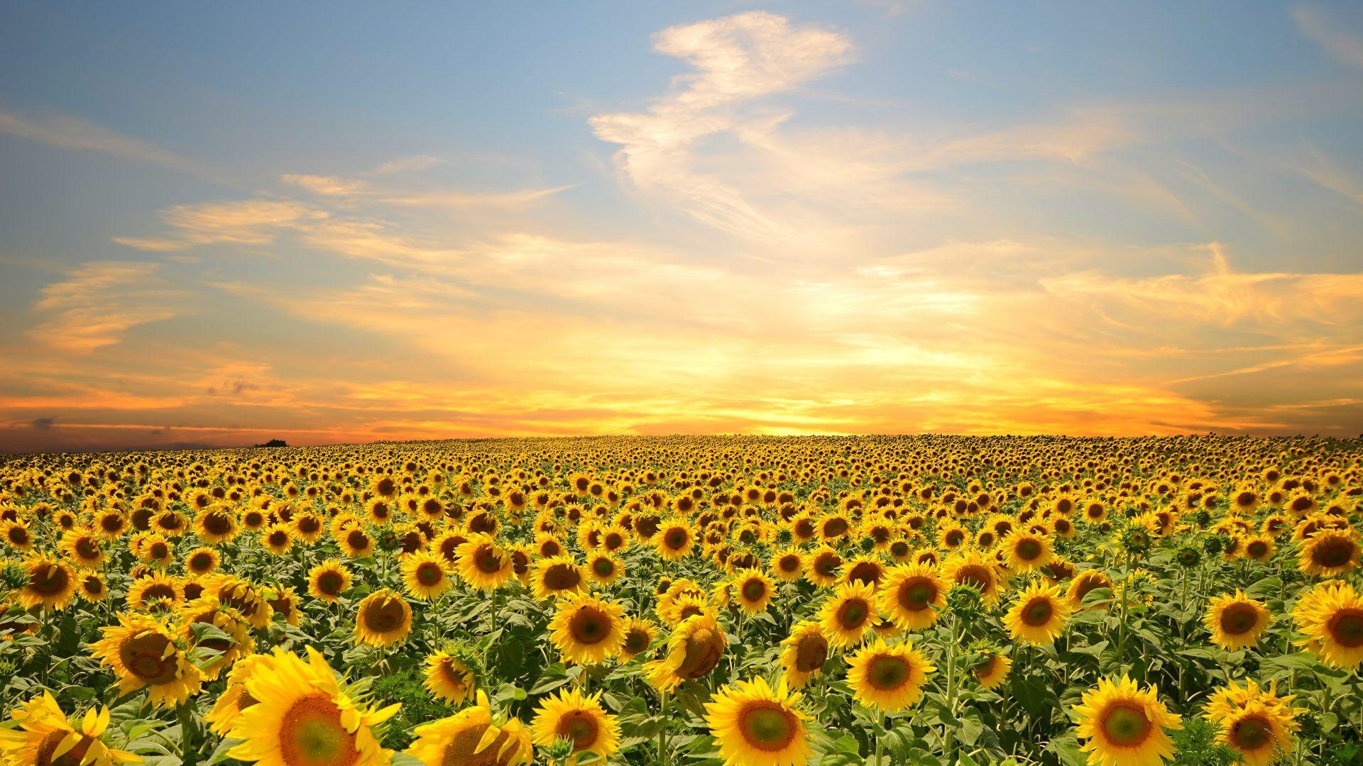 Pin By Ashley Marie On Beautiful World Sunflower Wallpaper Nature Photography Field Wallpaper