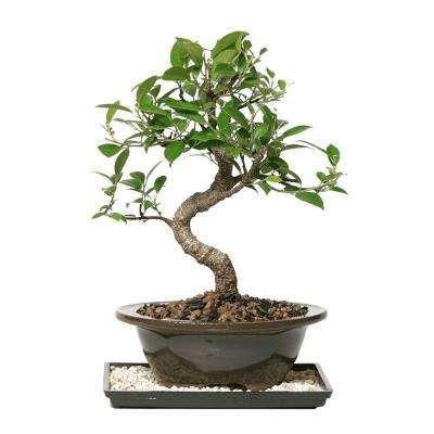 Indoor Plants Garden Plants Flowers The Home Depot Flowering Bonsai Tree Bonsai Tree Bonsai