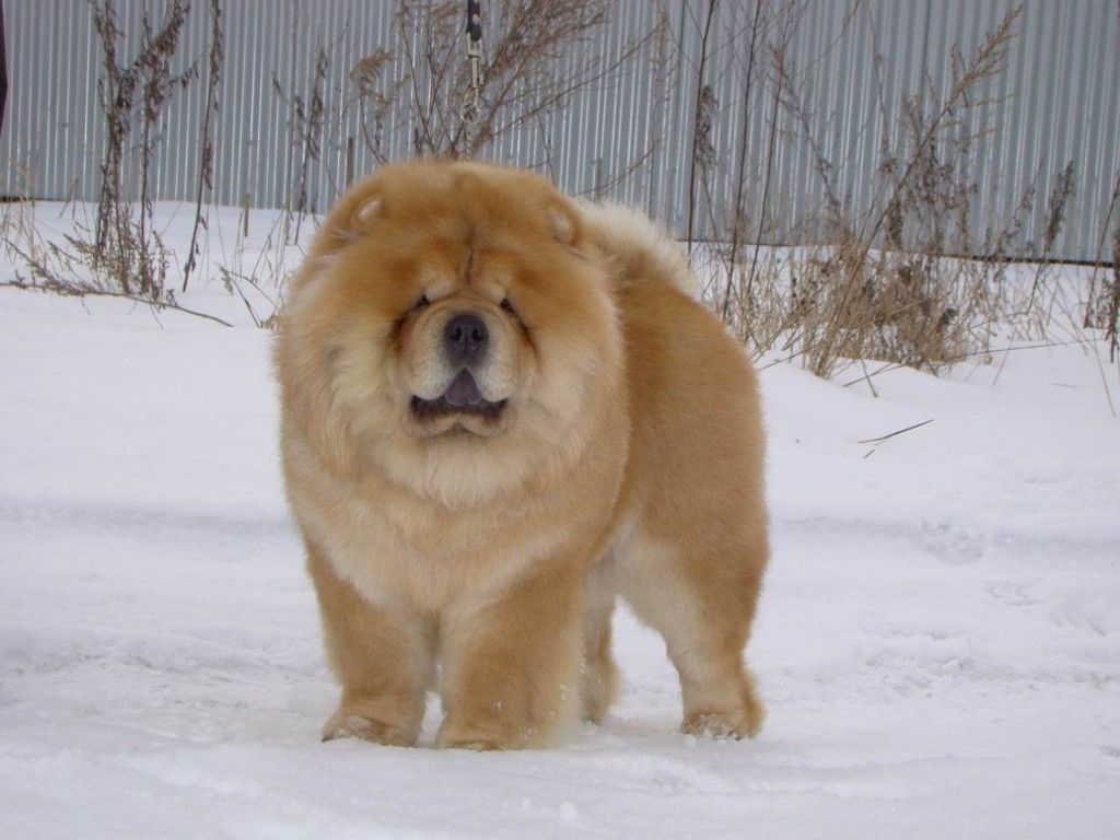 Chow On The Snow Sweet Chow Chow Dogs Wallpaper Chow Chow Dogs