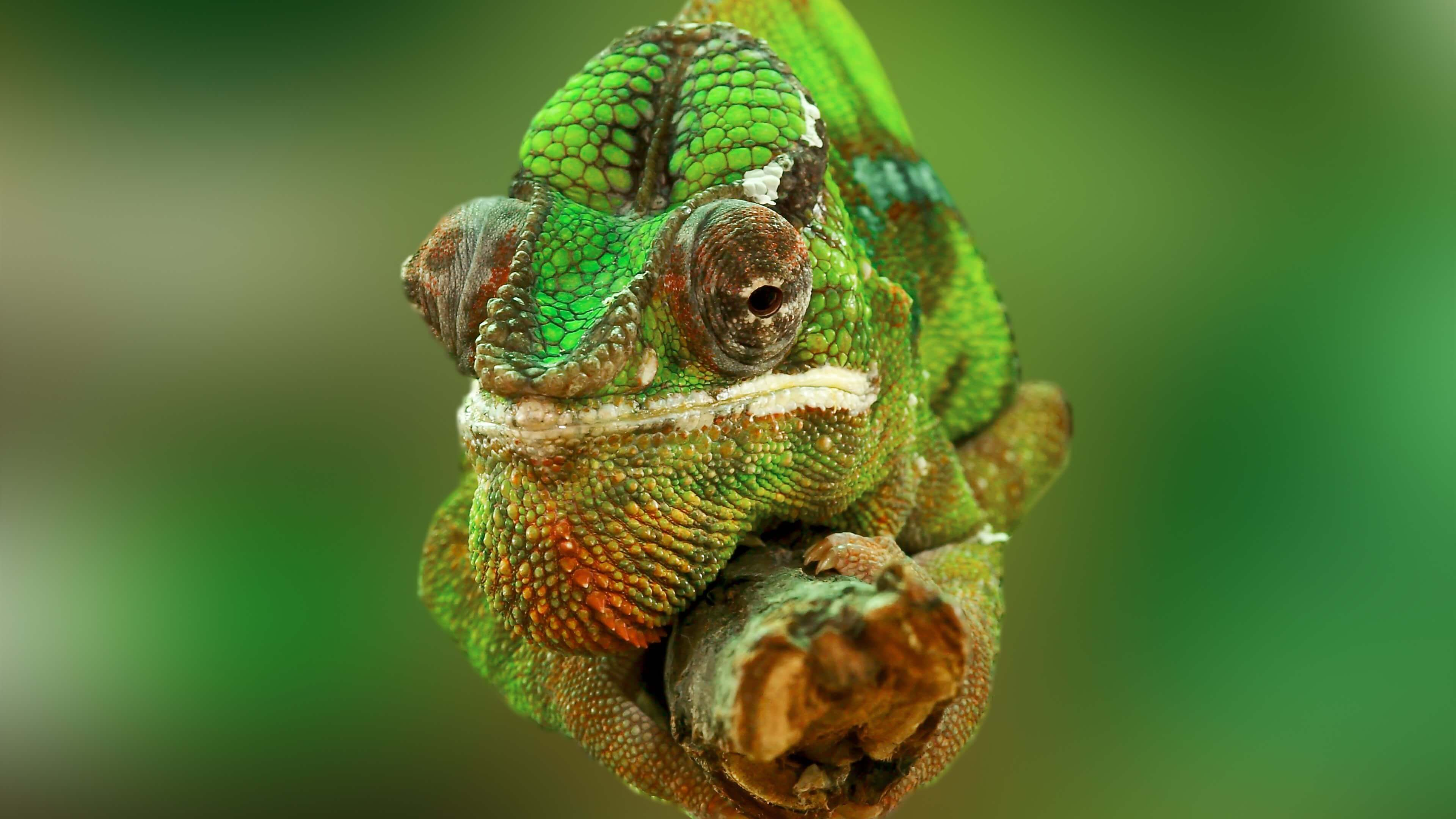 Download Chameleon Macro 4K Wallpaper from UHD Animals ...