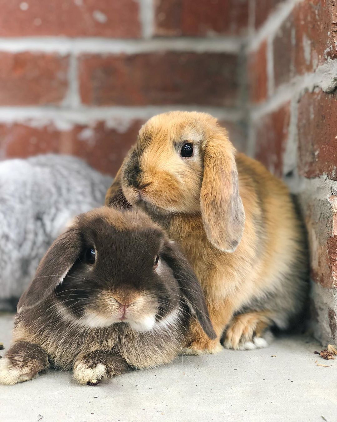 Holland Hanging Mit Bildern Widderkaninchen Susse Tiere Kaninchen