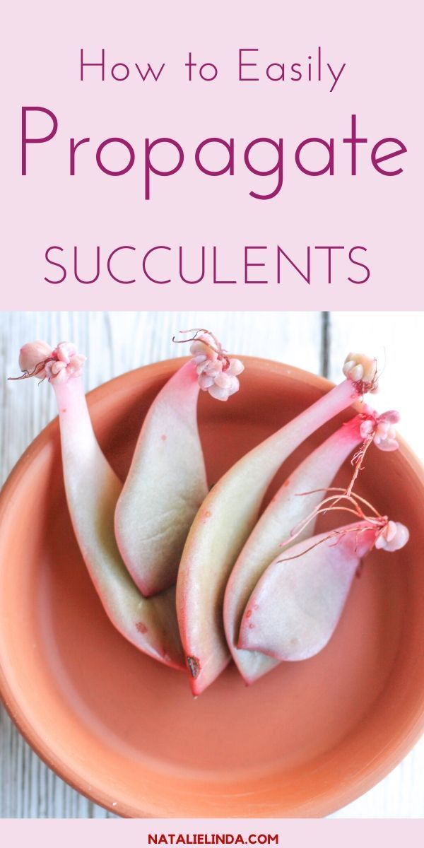 Learn how to easily propagate your indoor succulents so you can create more succulents for your collection Its a neat process and an inexpensive one too