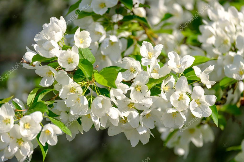 Flowering Apple Trees In The Spring In The Orchard Stock Photo Spon Trees Apple Flowering Spring Ad Apple Tree Apple Blossom Tree