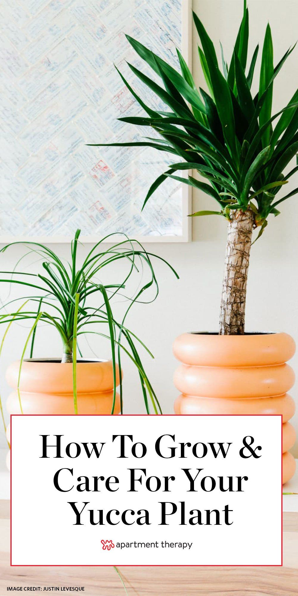 Yucca is the striking and low-maintenance plant you've been waiting for. Here's how to care for them. #yucca #yuccaplant #houseplants #lowmaintenanceplants #easyhouseplants #plantcare #planttips #plantcaretips #indoorplants