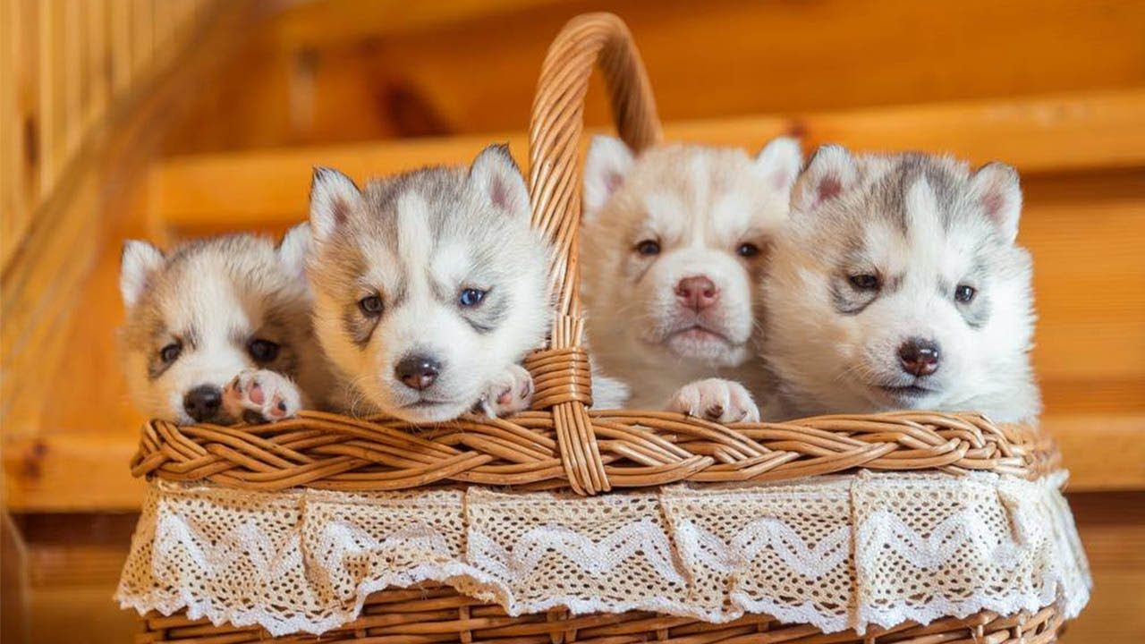 Husky Puppies Barking Howling And Playing In Their Cozy Home