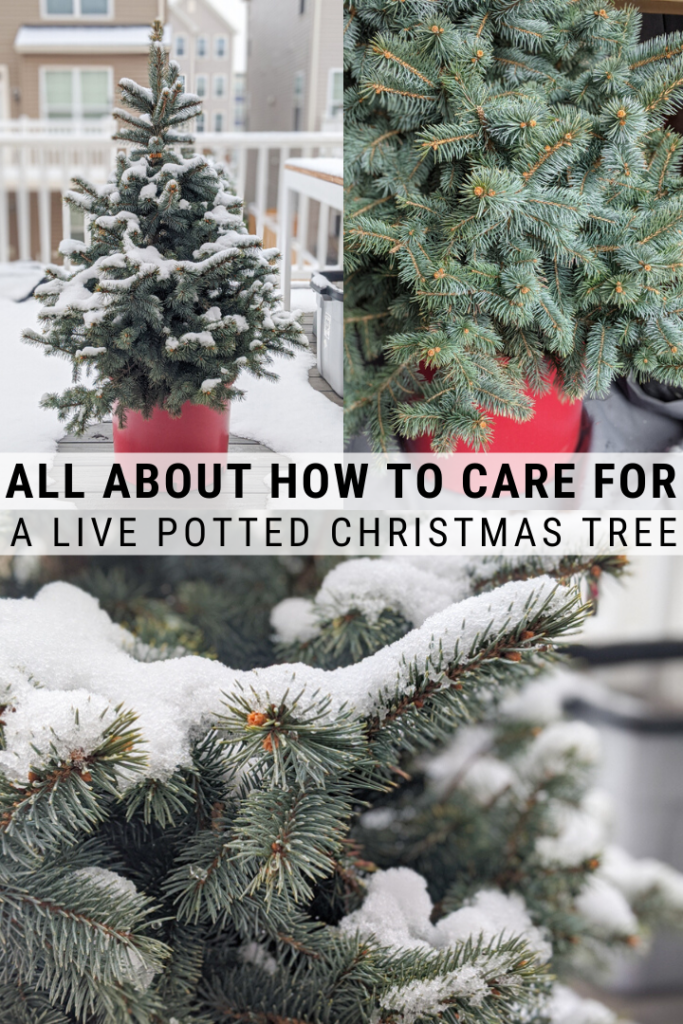 How to Take Care of a Potted Christmas Tree | Live ...