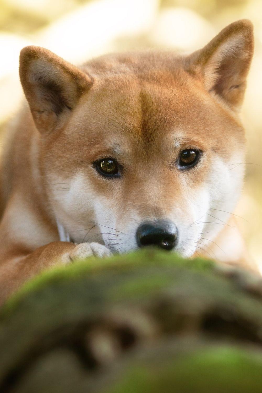 Tamashinu Shiba Inu Fotografie Shiba Inu Hunderasse Hunderassen