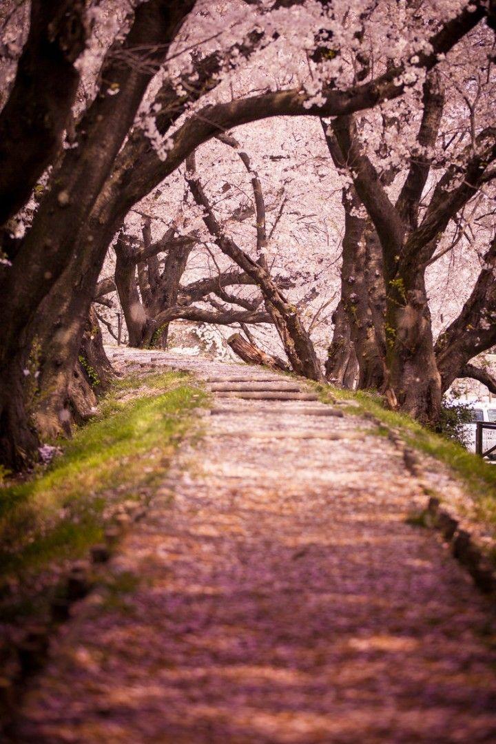 عجائب فصل الربيع صور خلابة لزهور الكرز في اليابان Travel Photography Holiday Travel Destinations Scenery