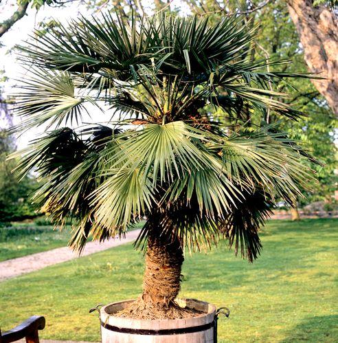 Fiche plante palmier chanvre for Maladie palmier interieur