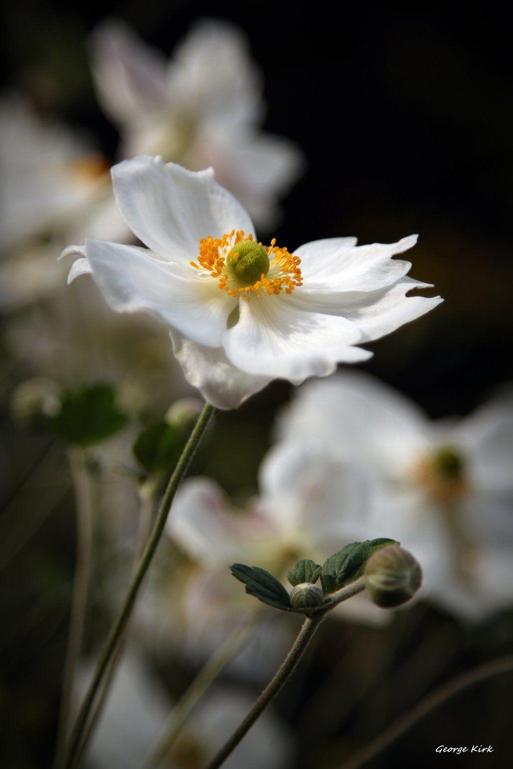 White Japanese Anemone Honorine Jobert By George Kirkiantart