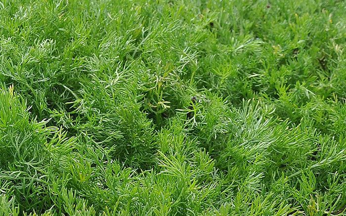 Chamomile Best Lawn Alternatives Low Growing Creeping Plants
